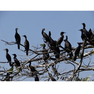 Cormoranul mare