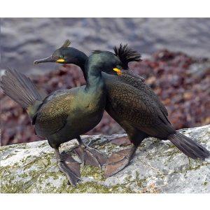 Cormoranul motat